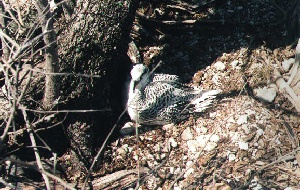 Native Bird 2